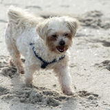 Maltese poodle on the beach. Maltese poole with harnass and dirty face on the beach Royalty Free Stock Image
