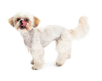 Maltese and Poodle Mix Dog Licking Lips Royalty Free Stock Photography