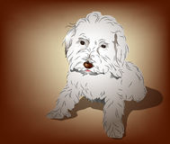 Maltese Poodle Mixed Puppy. Cute Maltese and Poodle mixed puppy sitting pose Royalty Free Stock Image