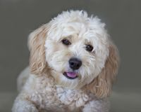 Maltese - Poodle Puppy Dog Portrait. A Maltipoo puppy dog, cross breed between Maltese and miniature Poodle, is looking inquisitive at the photographer royalty free stock photo