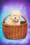 Maltese/poodle puppy in a picnic basket Stock Images