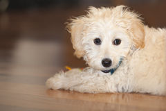 Maltese-Poodle Puppy Portrait Stock Images