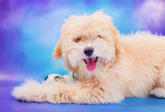 Maltese/poodle puppy posing with ball Royalty Free Stock Image