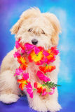 Maltese/poodle puppy posing with Hawaiian lei. 3 month old maltese/poodle puppy posing with Hawaiian lei Royalty Free Stock Photos