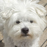 Maltese portrait. Portrait of a Maltese dog Stock Image
