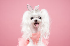 Maltese portrait in pink background. Shot Royalty Free Stock Photo
