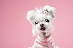Maltese portrait in pink background. Shot Royalty Free Stock Photos