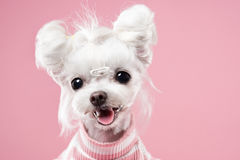 Maltese portrait in pink background. Shot Royalty Free Stock Photography