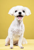 Maltese portrait in yellow background. Shot Royalty Free Stock Photography