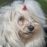 Maltese portret. Maltese on the leash, toy group dog in windy condition with ponytail Royalty Free Stock Photography