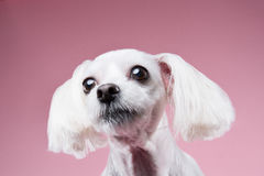 Maltese pose in pink background Royalty Free Stock Images