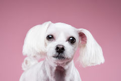 Maltese pose in pink background. Shot Stock Photography
