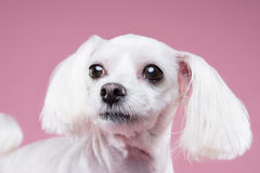 Maltese pose in pink background. Shot Stock Photo