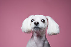Maltese pose in pink background Royalty Free Stock Photos