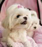 Maltese puppies stock image