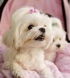 Maltese puppies Stock Image