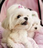 Maltese puppies pink background. A couple of Maltese puppies pink background Stock Images