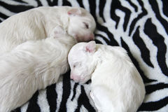 Maltese puppies sleeping Royalty Free Stock Images