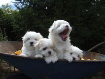 Maltese puppies in wheelbarrow. Four puppies with one yawning Stock Photos