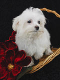 Maltese Puppy. In basket with red flowers Royalty Free Stock Photography