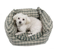 Maltese puppy. Sweet white maltese puppy resting in his bed Stock Photography