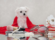Maltese puppy. And women's accessories Stock Photo