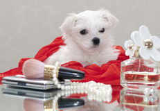 Maltese puppy. With women's accessories Stock Image