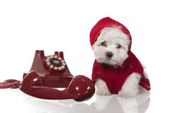 Maltese puppy. With red coat and red retro telephone Royalty Free Stock Images