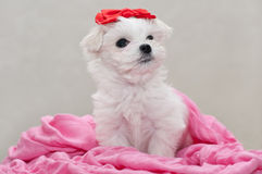 Maltese puppy. 2 months old, looks up Stock Image