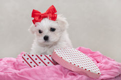 Maltese puppy. 2 months old, sitting in the box Royalty Free Stock Photo