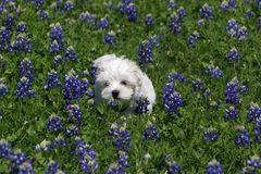 Maltese Puppy. Playful pup playing in a field full of Texas' state flower Royalty Free Stock Photo