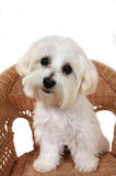 Maltese Puppy. Portrait of a Maltese Puppy sitting in wicker chair Stock Images