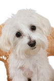 Maltese Puppy. Close up Portrait of cute little female Maltese puppy dog Royalty Free Stock Photography