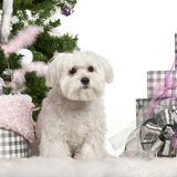 Maltese puppy, 6 months old, sitting with. Christmas tree and gifts in front of white background Royalty Free Stock Photos