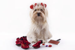 Maltese Puppy. In front with red curler isolated Royalty Free Stock Photography