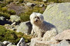Maltese puppy. On an adventure day in the mountains Royalty Free Stock Images
