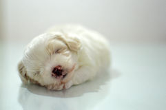 Maltese puppy at the age of three weeks. Sleeping Royalty Free Stock Image