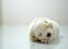 Maltese puppy at the age of three weeks. Sleeping Royalty Free Stock Images