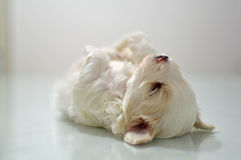 Maltese puppy at the age of three weeks. Sleeping Stock Image