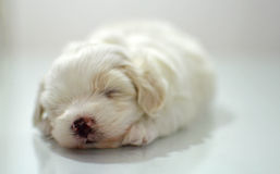 Maltese puppy at the age of three weeks. Sleeping Stock Photography