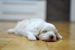 Maltese puppy at the age of three weeks Royalty Free Stock Image