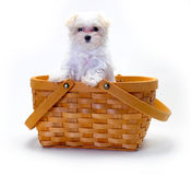 Maltese Puppy in basket Royalty Free Stock Images