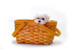 Maltese Puppy in basket Royalty Free Stock Photography
