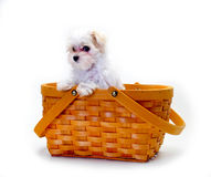 Maltese Puppy in basket Royalty Free Stock Photos