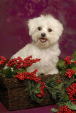 A Maltese Puppy in a Basket with Holly Stock Image