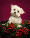 Maltese Puppy in a Christmas Basket. Little Maltese Puppy sits in a holiday basket eith red holly berries and leaves Royalty Free Stock Images