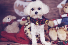 Maltese puppy in a christmas stocking. Image of a maltese puppy in a christmas stocking Royalty Free Stock Image