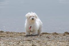 Maltese puppy - Cute fluffy dog on beach. Cute fluffy dog on beach - Maltese puppy - Maltese dog breed Stock Image