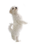 Maltese puppy dog. Isolated on a white background Royalty Free Stock Photos