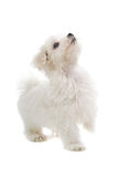 Maltese puppy dog. Isolated on a white background Royalty Free Stock Photography